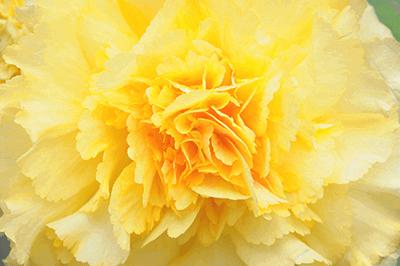 黄色いベゴニア